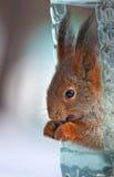 Eichhörnchen in der Zufuhr Lizenzfreie Stockfotos