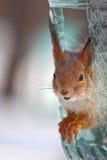 Eichhörnchen in der Zufuhr Lizenzfreie Stockfotografie