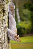 Eichhörnchen des östlichen Graus lizenzfreies stockfoto