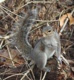 Eichhörnchen des östlichen Graus Stockfotografie