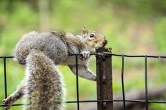Eichhörnchen des östlichen Graus stockfotos