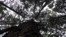 Eichhörnchen, die um den Baumstamm laufen stock video