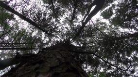Eichhörnchen, die um den Baumstamm laufen stock footage