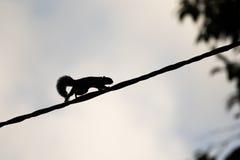 Eichhörnchen in Eile über einem Seil Lizenzfreies Stockfoto