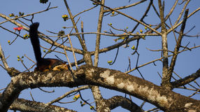 Eichhörnchen ein indisches riesiges Eichhörnchen/eines Malabar-Riesen stockbild