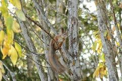 Eichhörnchen in einem Baum Stockfoto