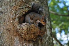 Eichhörnchen in einem Baum, der nach etwas Lebensmittel sucht Lizenzfreie Stockfotografie