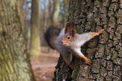 Eichhörnchen in einem Baum, der neugierig schaut Nahaufnahme Lizenzfreies Stockfoto