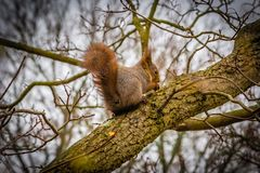 Eichhörnchen in einem Baum, Stockholm, Schweden stockbild