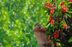 Eichhörnchen in einem Blumen-Topf Lizenzfreies Stockbild