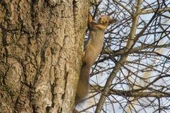 Eichhörnchen in einer Birke Stockbild