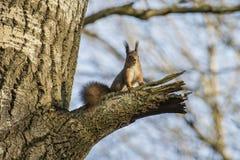 Eichhörnchen in einer Birke Stockbilder