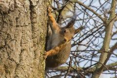 Eichhörnchen in einer Birke Stockfotografie