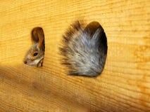 Eichhörnchen in einer Hütte Lizenzfreie Stockbilder
