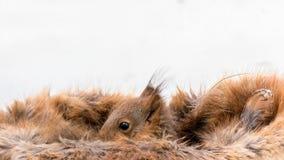 Eichhörnchen entspannt Stockbilder