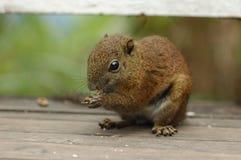 Eichhörnchen-Essen Lizenzfreie Stockfotografie