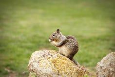 Eichhörnchen-Essen Stockfotografie