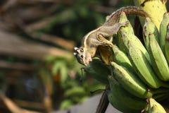 Eichhörnchen essen Banane Stockbilder