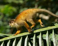 Eichhörnchen-Fallhammer Stockfotografie