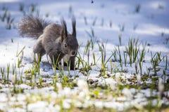 Eichhörnchen am Frühling mit Schnee stockbilder