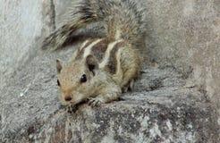 Eichhörnchen Front Shot Stockfoto