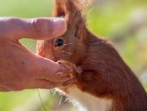 Eichhörnchen gestreichelt von einem älteren Mann auf einem sonnigen Morgen lizenzfreie stockfotos