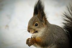 Eichhörnchen groß Stockbild