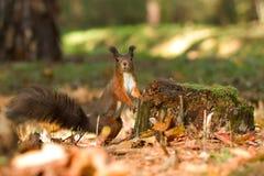 Eichhörnchen, Herbst, Nuss und trocknen Blätter Lizenzfreie Stockfotos