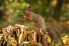 Eichhörnchen, Herbst, Nuss und trocknen Blätter Lizenzfreie Stockbilder