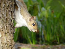 Eichhörnchen hinter Baum Lizenzfreies Stockbild