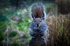 Eichhörnchen in Holland Park Stockbilder