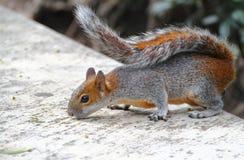 Eichhörnchen II Stockbilder