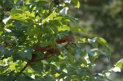 Eichhörnchen im Baum Lizenzfreie Stockfotos