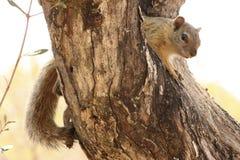Eichhörnchen im Baum Lizenzfreie Stockfotografie