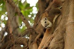 Eichhörnchen im Baum Lizenzfreies Stockbild