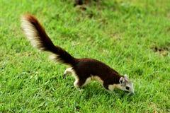 Eichhörnchen im Garten lizenzfreie stockfotos