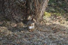 Eichhörnchen im Garten Lizenzfreies Stockfoto