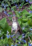 Eichhörnchen im Glockenblumeflecken stockfoto