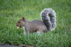 Eichhörnchen im Gras Stockbilder