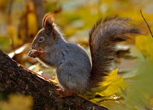 Eichhörnchen im Herbstwald Lizenzfreies Stockbild