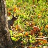 Eichhörnchen im Herbstwald lizenzfreie stockfotografie