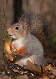 Eichhörnchen im Herbstwald Lizenzfreie Stockbilder