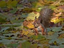 Eichhörnchen im Herbstwald Lizenzfreie Stockfotos