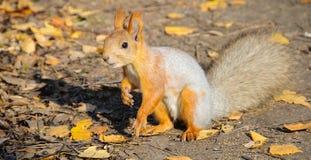 Eichhörnchen im Herbstwald Stockfotos