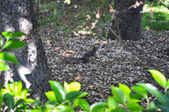Eichhörnchen im Holz Stockfoto