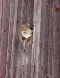 Eichhörnchen im Loch Stockbild