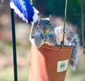 Eichhörnchen im Nussbehälter Lizenzfreie Stockfotografie