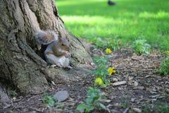 Eichhörnchen im Park Lizenzfreies Stockfoto