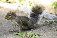 Eichhörnchen im Park Stockbild