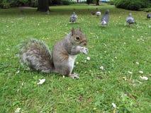 Eichhörnchen im Park Lizenzfreie Stockbilder